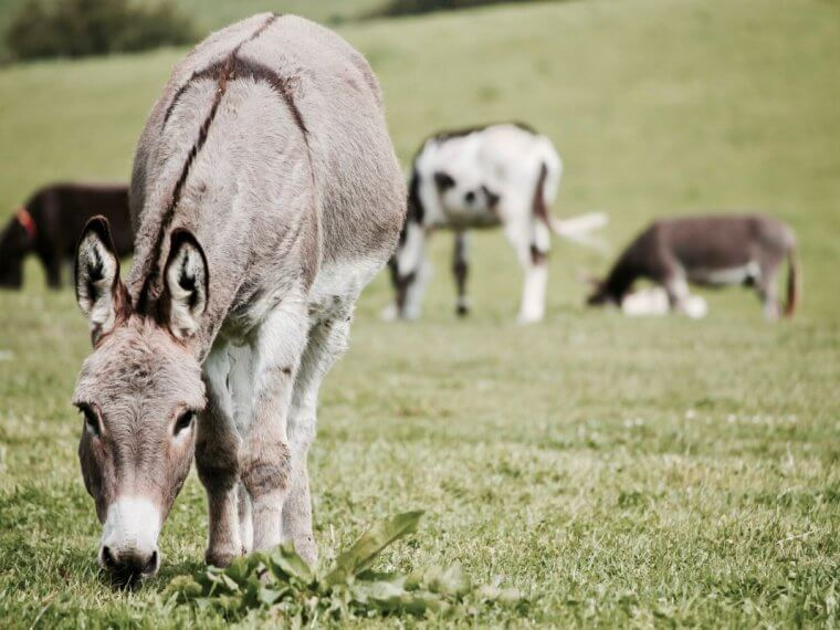 Donkey's in a green field