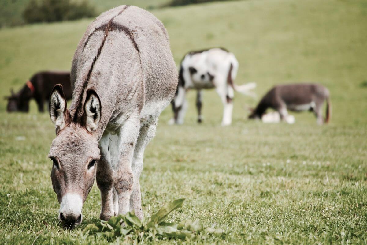 Donkey's in a green field