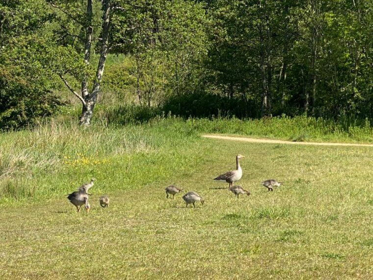 A duck family in a field