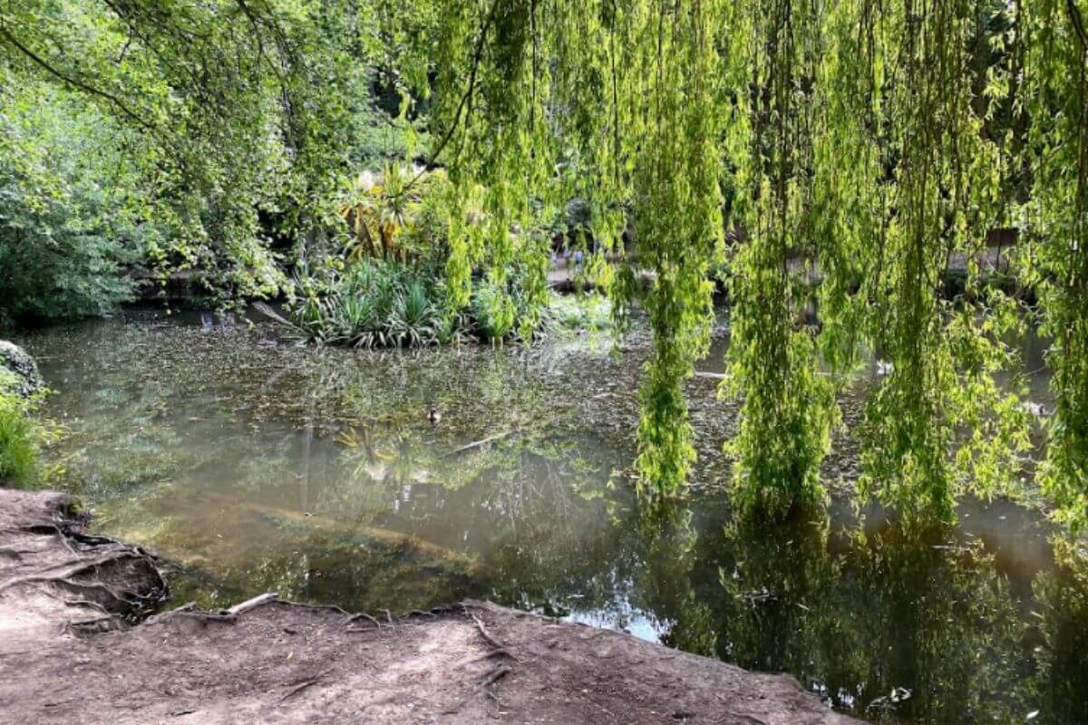 Willow tree over looking the lake