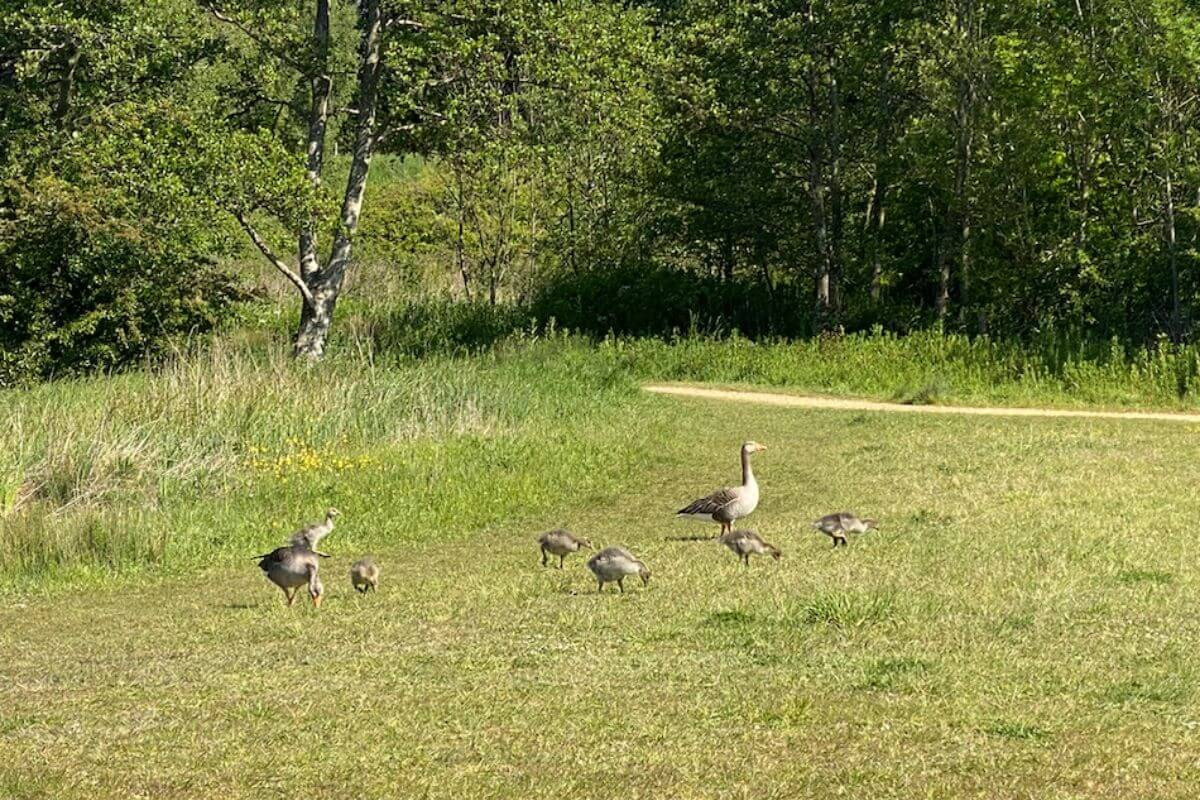 a family of ducks on a green field