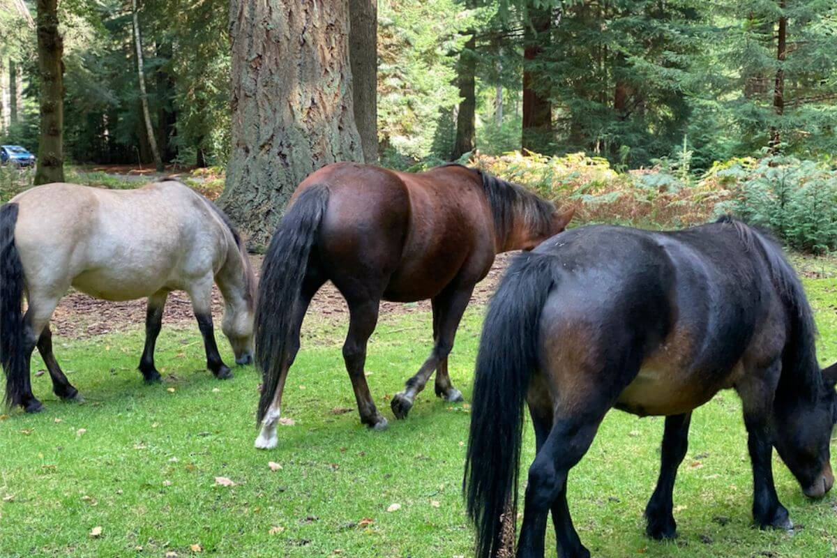 Three horses in the new forest