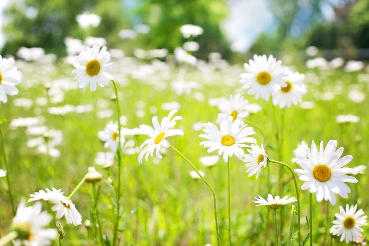 Daisies in the long grass