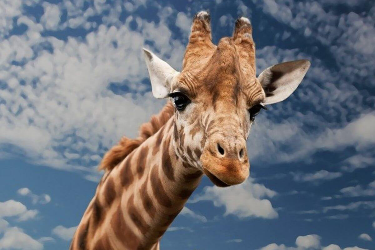 Giraffe in the blue sky