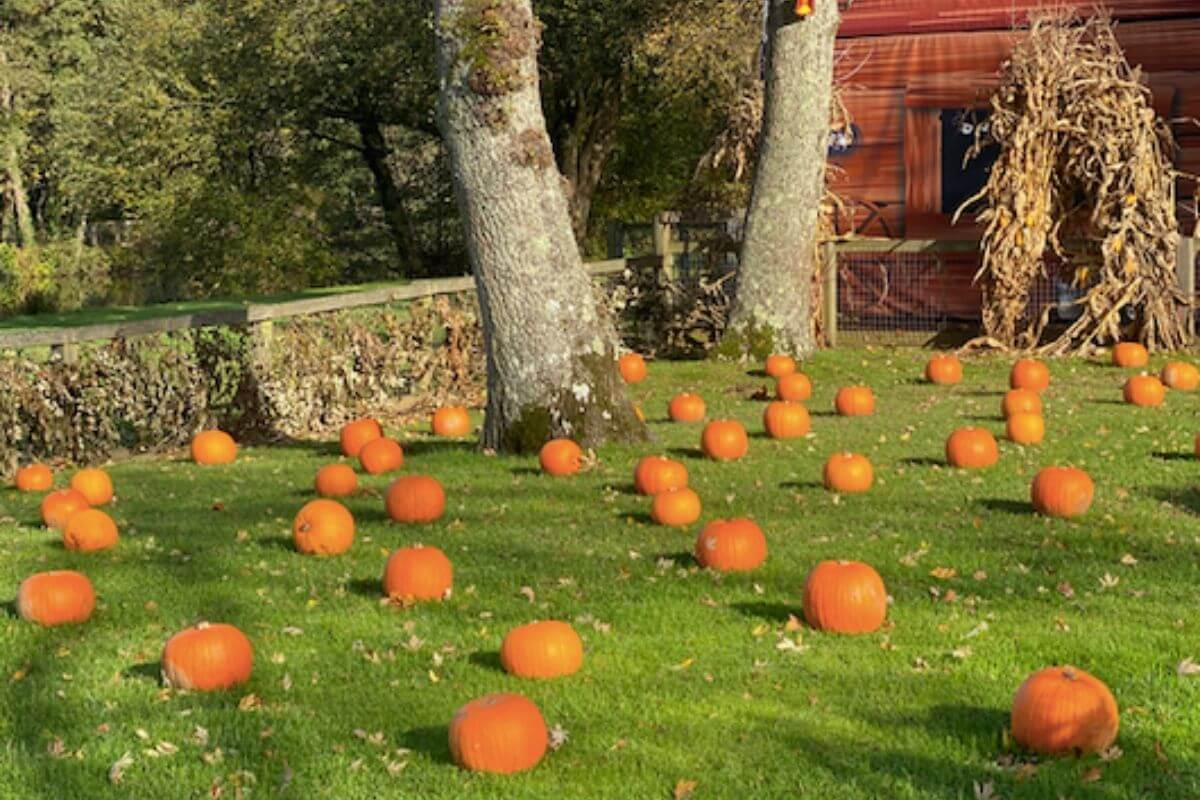 Pumpkins on the grass in Paultons Park