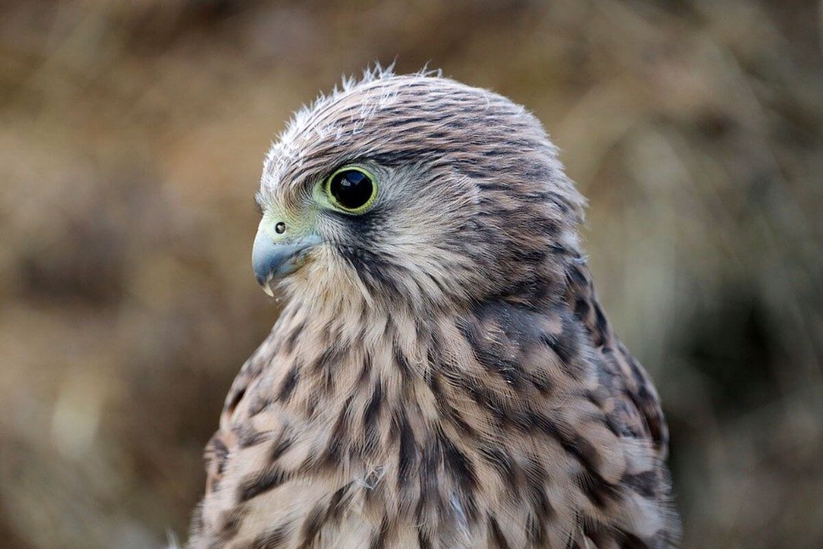 Hawk looking away from the camera