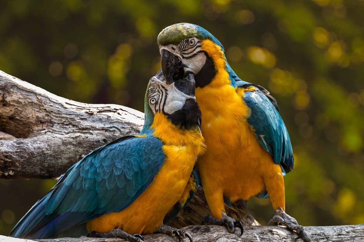 Two parrots hugging