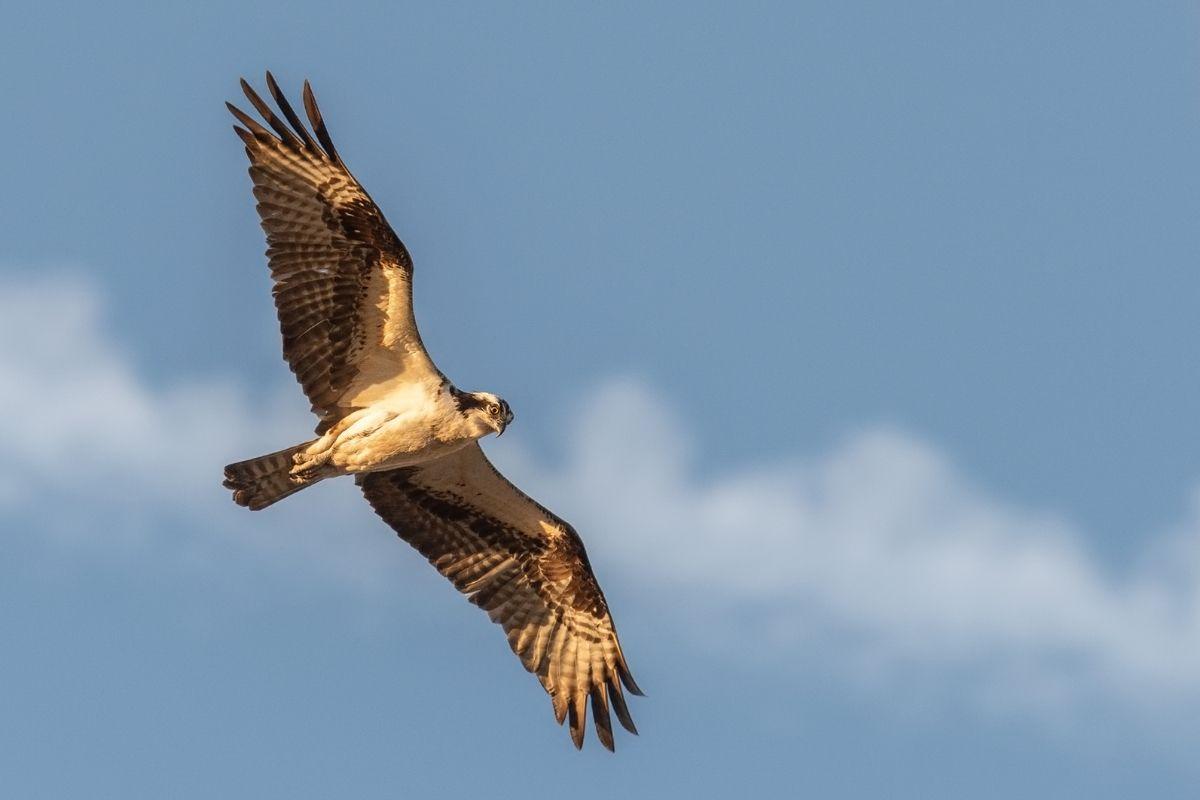 Hawk flying in the sky
