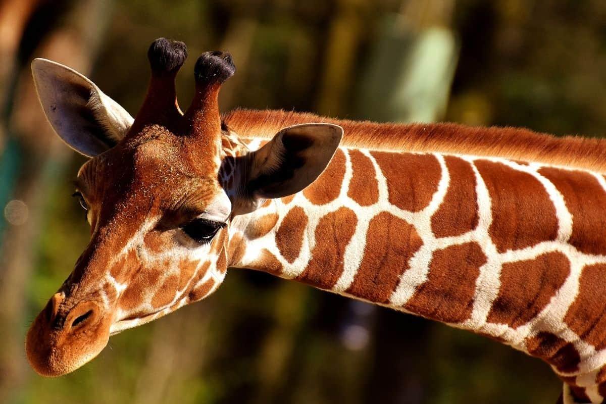 Giraffe leaning over
