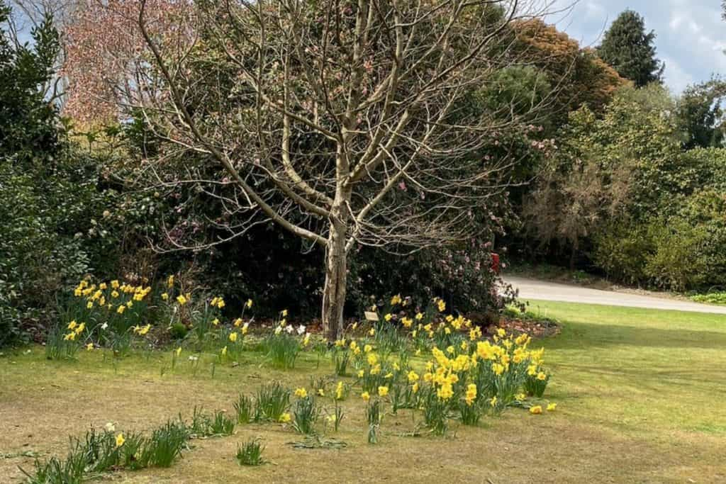 Sir HaroldHillier Gardens tree with flowers round the bottom